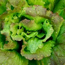 Lettuce close up