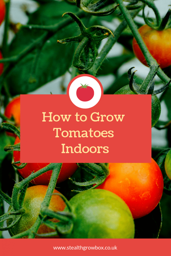 Tomatoes indoor growing