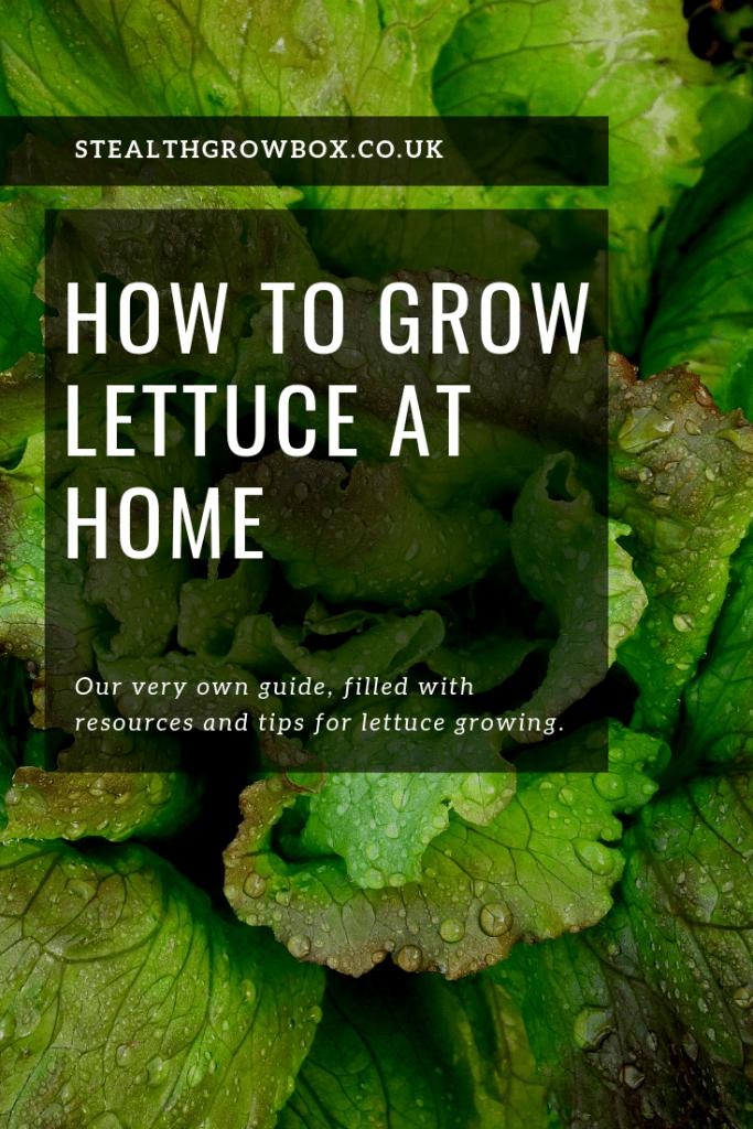 Lettuce home grown